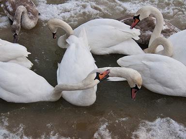 swan6
