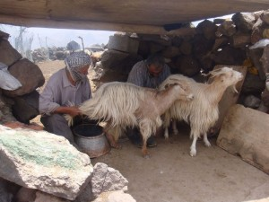 Milking goats on the mountain
