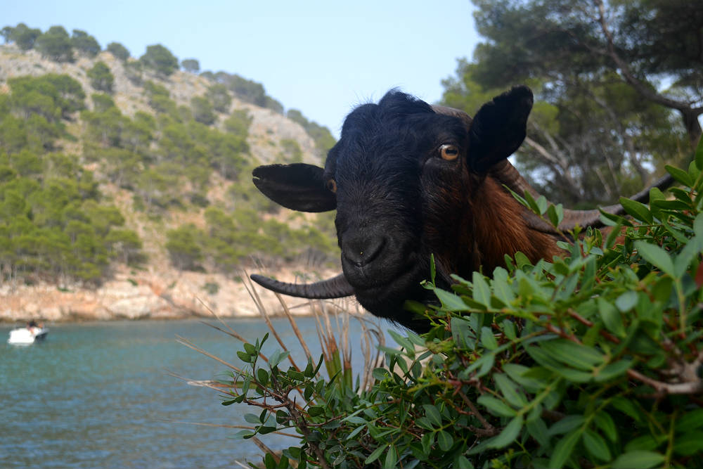 Say goat's cheese