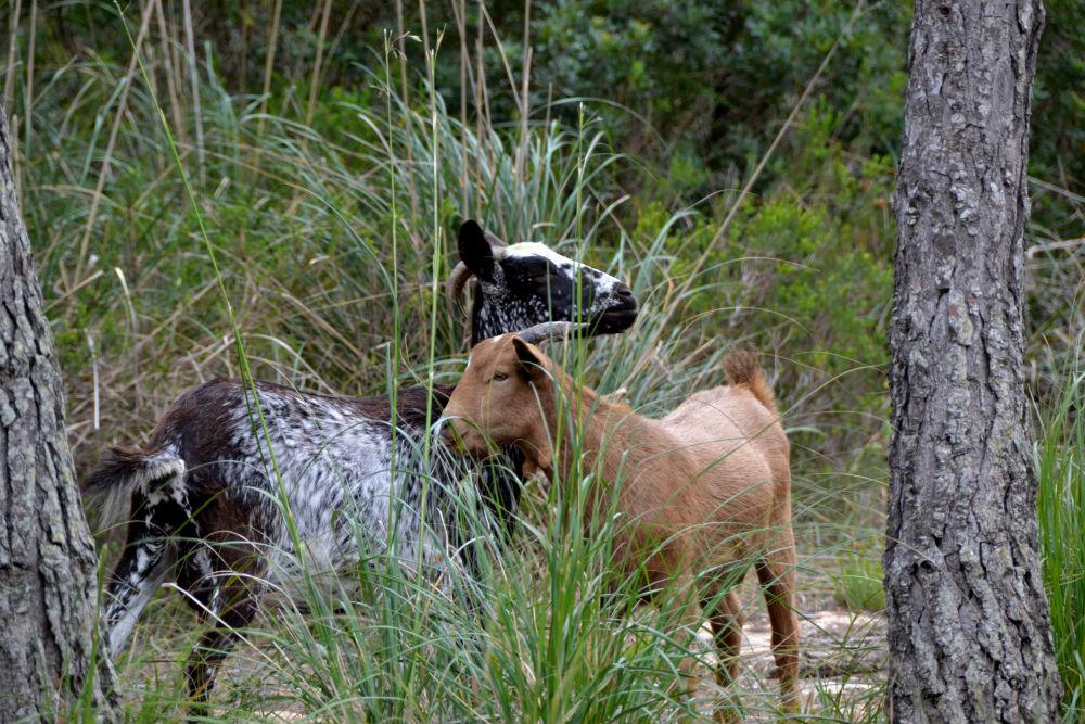 Urban Travel Blog not so popular amongst goats