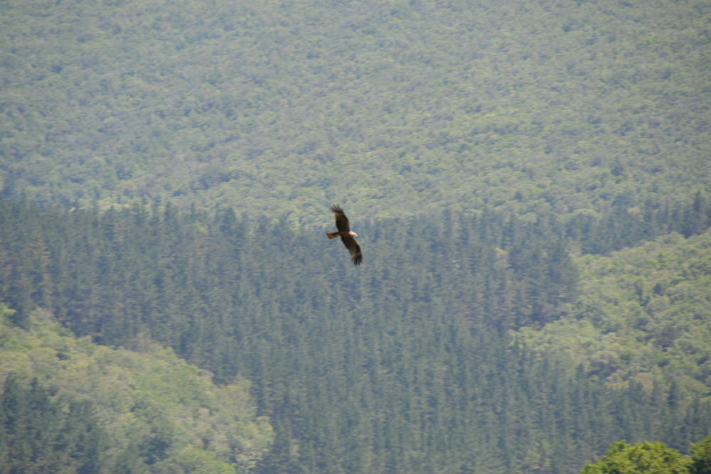 A black kite circles over the marshes