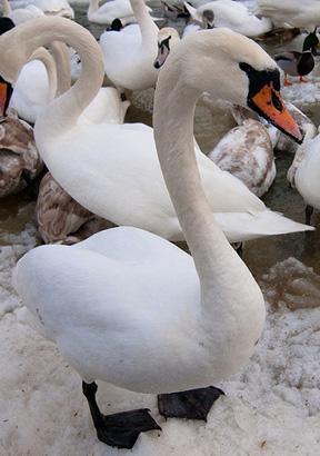 swan7