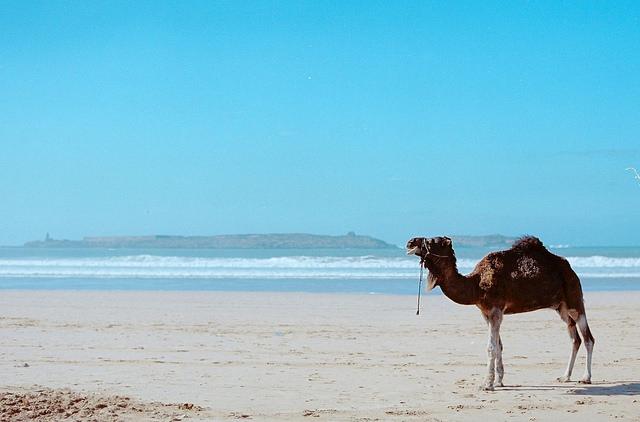 Camel – Tanel Teemusk. A camel on the beach at As Suwayrah, Marrakech-Tensift-Al-Haousz.