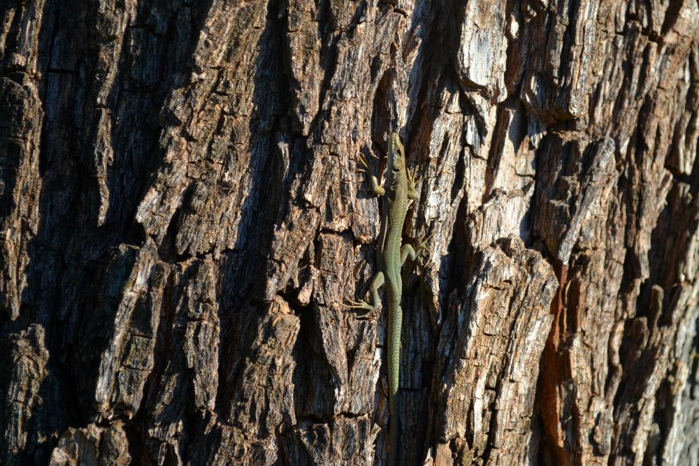 lizard-turia-gardens