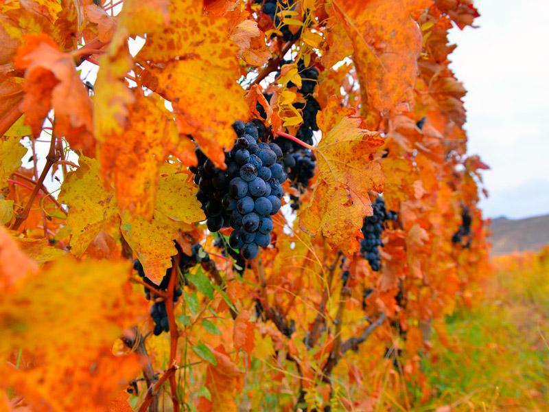 Areni-grape