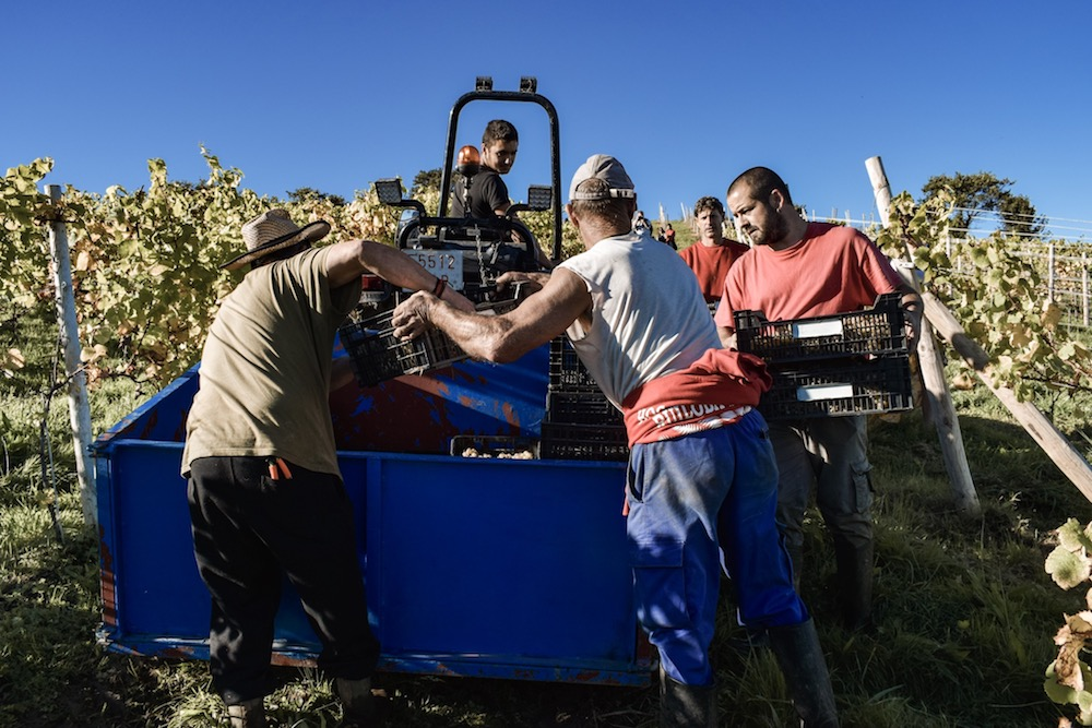 Harvest time at Bodega Miradorio de Ruiloba